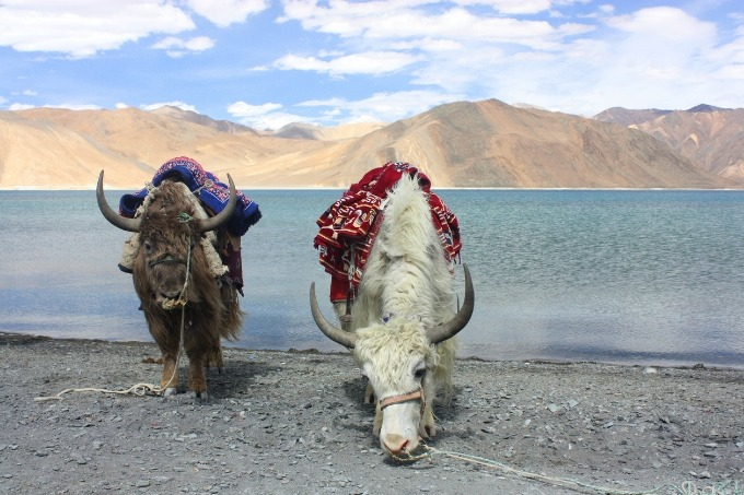 yaks at pangong lake, india