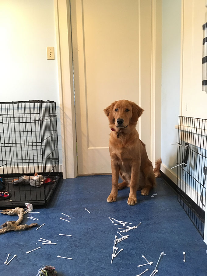 golden retriever puppy looking proud about the mess he is standing behind