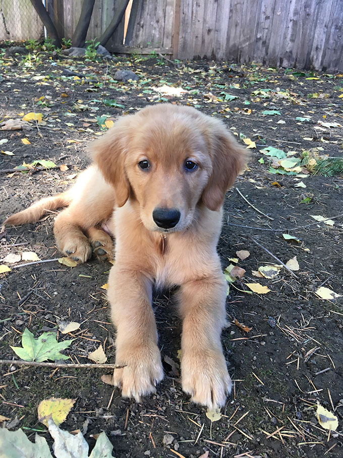 golden retriever puppy in yard