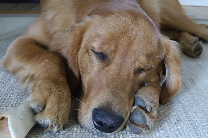 golden retriever puppy asleep on his bone