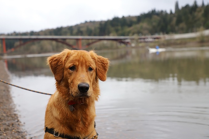 red golden retriever puppy standing in front of bridge staring at camera