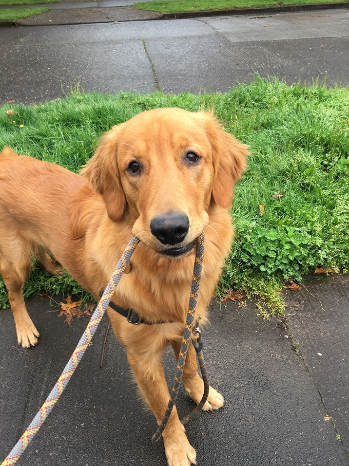golden retriever puppy looking at camera holding leash in his mouth